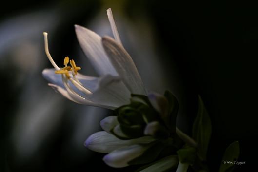 Hosta flowers.