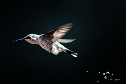 Female Ruby-throated Hummingbird defecating.
