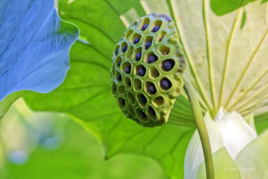 Lotus seed pod.